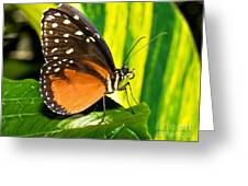 Hecale Longwing Butterfly Greeting Card