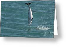 Hector Dolphin Diving Greeting Card