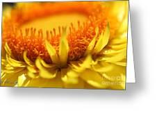 Helichrysum Bracteatum Named Strawburst Yellow Greeting Card