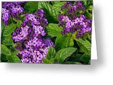 Heliotrope Flowers In Bloom Greeting Card