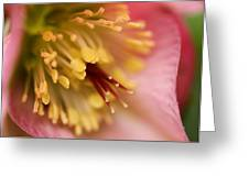 Hellebore Greeting Card by Jacqui Collett