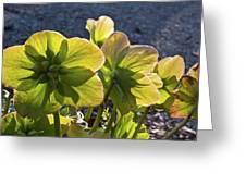 Helleborus Backlight Blossoms 2 Greeting Card