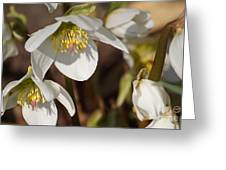 Helleborus Niger - Christrose Greeting Card