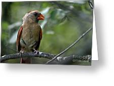 Hello Young Cardinal Greeting Card