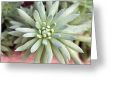 Hen And Chick Miniature Succulent Macro Greeting Card