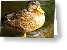 Hen Mallard Duck Greeting Card