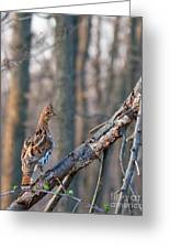 Hen Ruffed Grouse On Roost Greeting Card