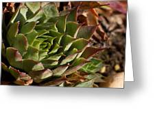 Hens And Chicks Sedum 1 Greeting Card