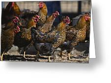 Hens Of Distinction Greeting Card
