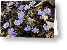 Hepatica Greeting Card
