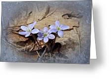 Hepatica Wildflowers - Hepatica Nobilis Greeting Card