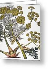 Herbal: Fennel, 1819 Greeting Card
