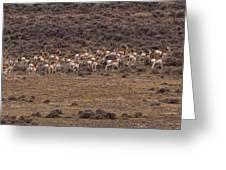 Herd Of Antelope   #8552 Greeting Card