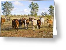 Herd Of Brahman Cattle In Outback Queensland Greeting Card