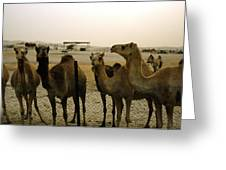 Herd Of Camels In A Farm, Abu Dhabi Greeting Card