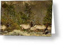 Herd Of Cow Elk   #7672 Greeting Card