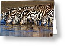 Herd Of Zebras Drinking Water Greeting Card
