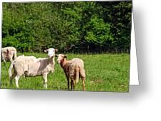 Here Is Looking At Ewe Greeting Card