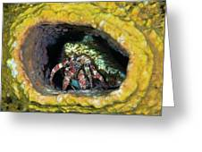 Hermit Crab In Yellow Vase Sponge, St Greeting Card