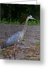 Heron 14-1 Greeting Card