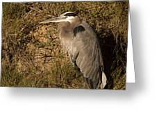 Heron Basking In The Morning Sun Greeting Card