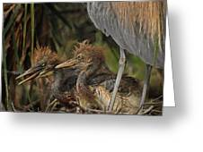 Heron Chicks Greeting Card
