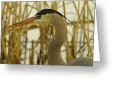 Heron Close Up Greeting Card