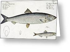 Herring Greeting Card by Andreas Ludwig Kruger