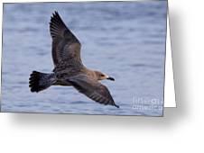 Herring Gull In Flight Photo Greeting Card