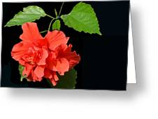 Hibiscus-2 Greeting Card