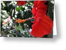 Hibiscus 2685 Greeting Card