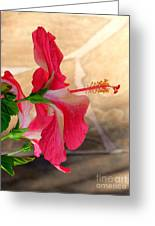 Hibiscus Along The Walk Way Greeting Card