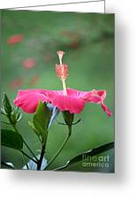 Hibiscus Ballerina Greeting Card