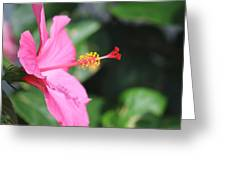 Hibiscus Bush Greeting Card