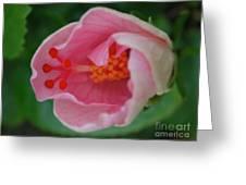 Hibiscus Flower Blooming Greeting Card