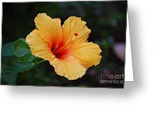 Hibiscus Flower In Puerto Rico Greeting Card