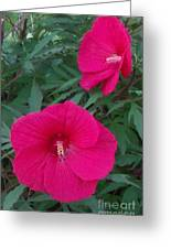 Hibiscus Flower Times Two Greeting Card