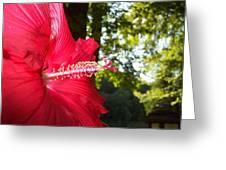 Hibiscus - Lord Baltimore Greeting Card