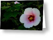 Hibiscus Mutabilis Flower Greeting Card