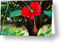 Hibiscus Rosa-sinensis / China Rose Flower Greeting Card