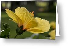 Hibiscus 'sunny Wind'  3407 Greeting Card