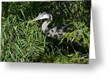 Hiding Blue Heron Greeting Card