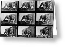 High-speed Sequence Of A Walking Lion By Muybridge Greeting Card