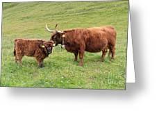 Highland Caws Greeting Card