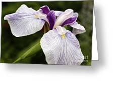 Hint Of Purple Greeting Card