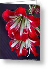 Hippeastrum Greeting Card