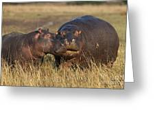 Hippo Cow And Calf Greeting Card