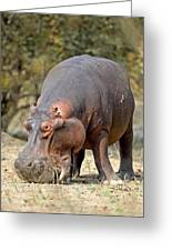 Hippo Grazing Greeting Card