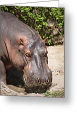 Hippo Hair 1 Greeting Card