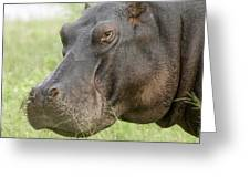 Hippopotamus Okavango Delta Botswana Greeting Card
